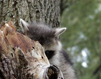 Peak a Boo Raccoon. Young shy raccoon playing peak a boo with me Stock Photos