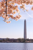 A peak of cherry blossom at Tidal Basin in Washington DC, USA. Royalty Free Stock Image