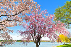 Peak of cherry blossom in Washington, DC. Stock Photography