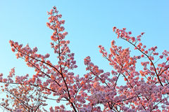 Peak of cherry blossom in Washington, DC. Pink cherry flowers at sunset against blue sky Stock Photography