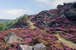 Peak District Heather. A rocky landscape with late summer Heather in the Peak District Royalty Free Stock Photo