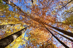 Peak of fall color royalty free stock photo