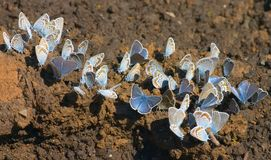 Peak hours. Gathering of drinking butterflies royalty free stock photos