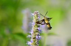 Peak moth Royalty Free Stock Photos