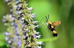 Peak moth Stock Images