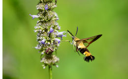 Peak moth Stock Photos