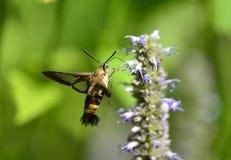 Peak moth Royalty Free Stock Photography