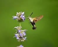 Peak moth Royalty Free Stock Photo