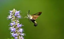 Peak moth Stock Photography