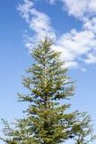 Peak of pine tree on cloudy sky Royalty Free Stock Image