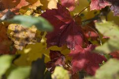 Peak of red and yellow foliages Royalty Free Stock Photos