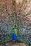 Peakcok avienta su cola Fotos de archivo