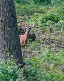 Peaking. Deer with ears up in air keeping a close watch. Wildlife nature animals manuals royalty free stock photo