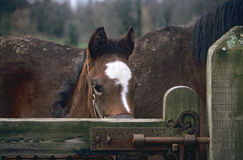 Peaking over the gate. A new born racehorse peaks over a gate in rural Ireland stock photo