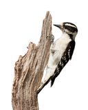 Peaking Woodpecker Royalty Free Stock Photo