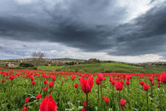 Peaks of red tulips Stock Image
