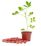 Peanut (arachis) seeds and sprout. Vegetable in pot and nuts of goober on white Stock Images