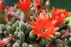 Peanut Cactus Red Flowers royalty free stock image