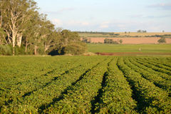 Peanut crop. A crop of peanuts grows in rich red volcanic soil near Kingaroy, Queensland, Australia Stock Images
