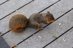 Peanut eating red squirrel Royalty Free Stock Photography