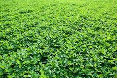 Peanut farm Stock Photos