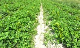 Peanut farm. Peanut plants growing in field Stock Images