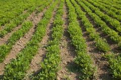Peanut farm Royalty Free Stock Photos