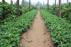 Peanut field royalty free stock photos