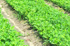 Peanut field. Peanut plants growing in field royalty free stock images