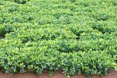 Peanut field Royalty Free Stock Image