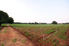 Peanut field in kanchanaburi. Thailand Royalty Free Stock Image