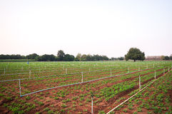 Peanut field in kanchanaburi Stock Image