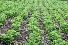 Peanut field Royalty Free Stock Photo
