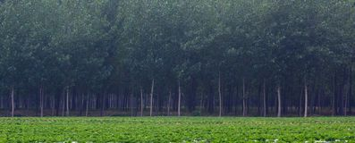 Peanut fields and poplar Royalty Free Stock Photos