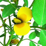 Peanut or groundnut (Arachis hypogaea. The peanut plant has procumbent (trailing) stems and grows to around 0.5 m (20 in) tall or long Stock Images