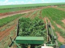 Peanut harvest Royalty Free Stock Images