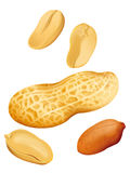 Peanut Illustration Stock Photos