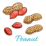 Peanut isolated sketch of fresh groundnut. Peanut sketch of shelled nut kernel and fresh groundnut in shell. Snack food packaging, vegetarian nutrition, farm Stock Photos