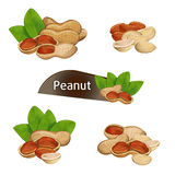 Peanut kernel in nutshell with leaves set. Peanut kernel in nutshell with green leaves set isolated on white background vector illustration. Organic food Royalty Free Stock Photo