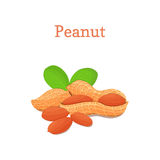 Peanut nuts with leaves. Vector illustration of a handful  groundnut  on white background it can be used as Stock Image