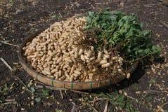 Peanut Plant Royalty Free Stock Image