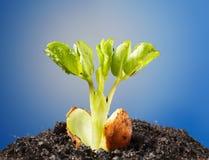 Peanut plant braird Stock Photos
