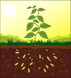 Peanut plant cross section stock illustration