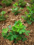 Peanut plant. In the ground stock images