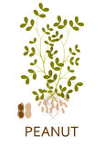 Peanut plant with leaves, stem and roots. Vector illustration Royalty Free Stock Image