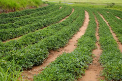 Peanut plantation Royalty Free Stock Photos
