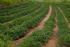 Peanut plantation Royalty Free Stock Images