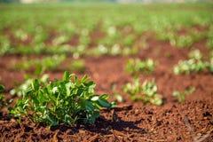 Peanut Plantation field bean Stock Images