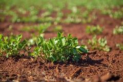 Peanut Plantation field bean Stock Image