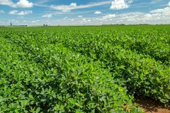 Peanut plantation field Royalty Free Stock Photos